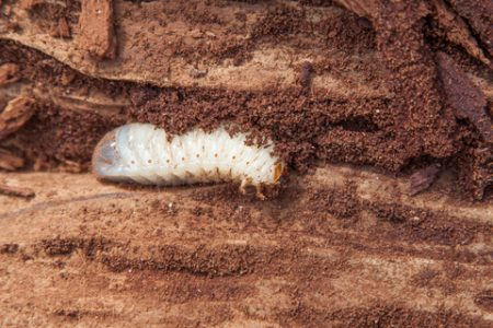 Houtworm in hout